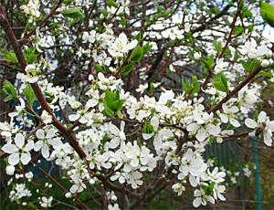 Слива в цвету (портал «Ода-Да»)