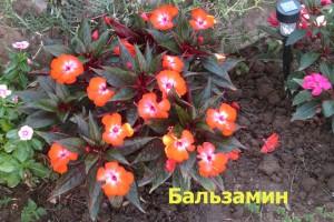 Balsamin2